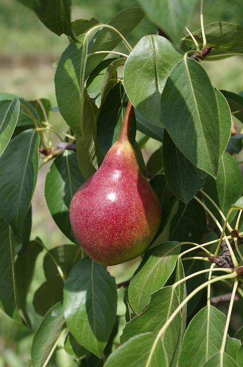 Pear, Red, Fruit, Tree