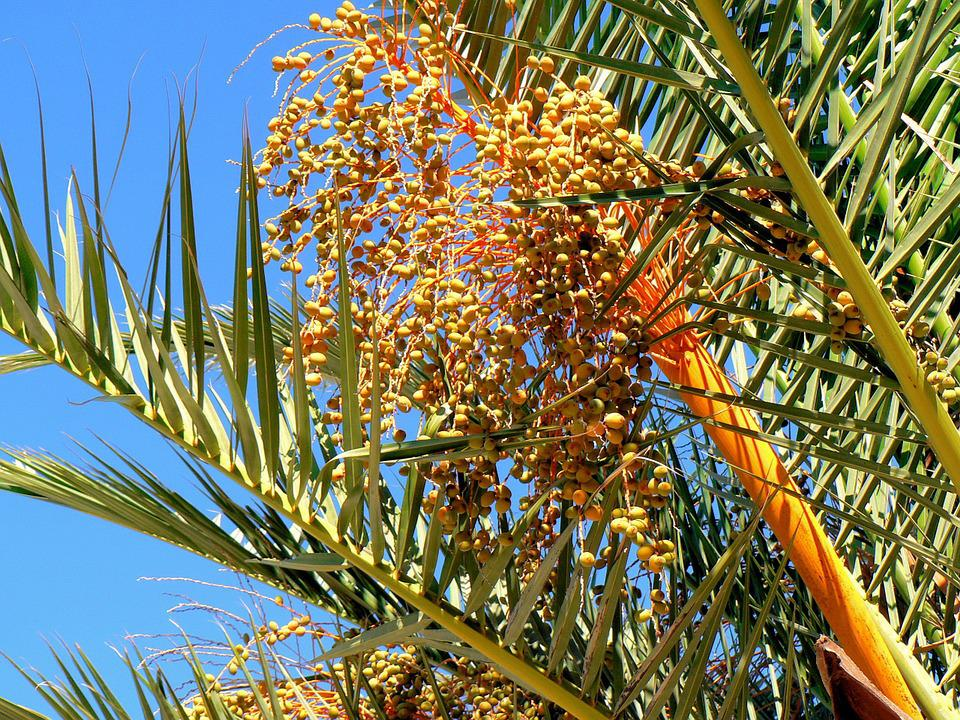 Date-palm, Dates, Fruit, Trees, Power, Collection