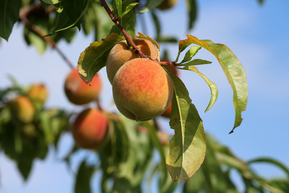 Peaches, Fruit, Summer, Vitamins, Eat, Food, Raw