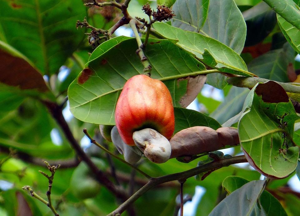 Cashew Fruit, Nut, Ripe, Fruit, Red, India