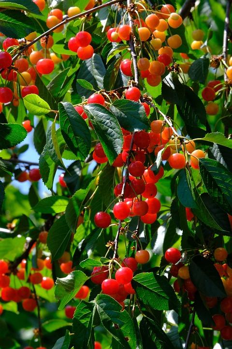 Cherries, Sour Cherries, Cherry Tree, Fruit, Ripe