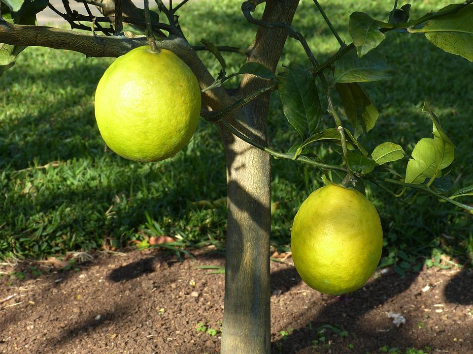 Lemon Tree, Lemon, Sour, Yellow, Fruit, Food, Vitamins