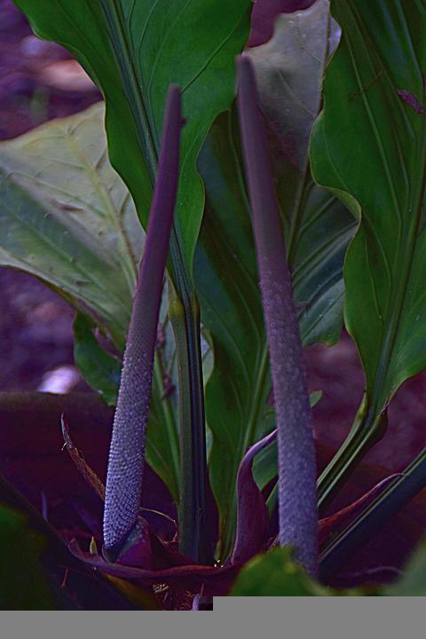 Fruit Stem, Foliage Plant, Large