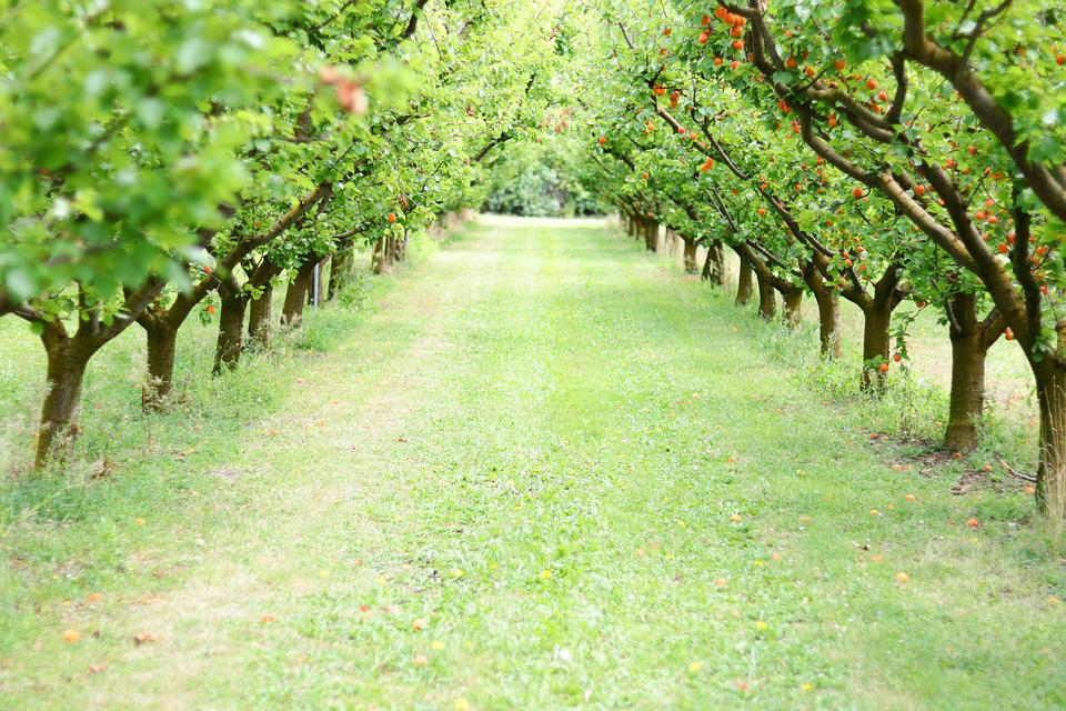 Orchard, Fruit, Apricots, Nature, Healthy, Sweet, Green