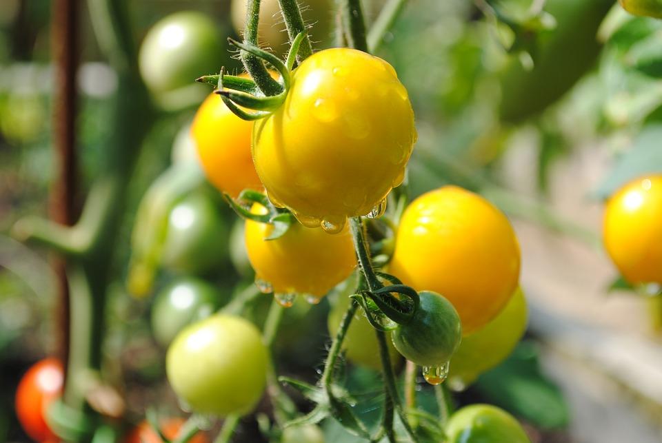 Tomato, Yellow, Vegetable Garden, Vegetable, Fruit, Dew