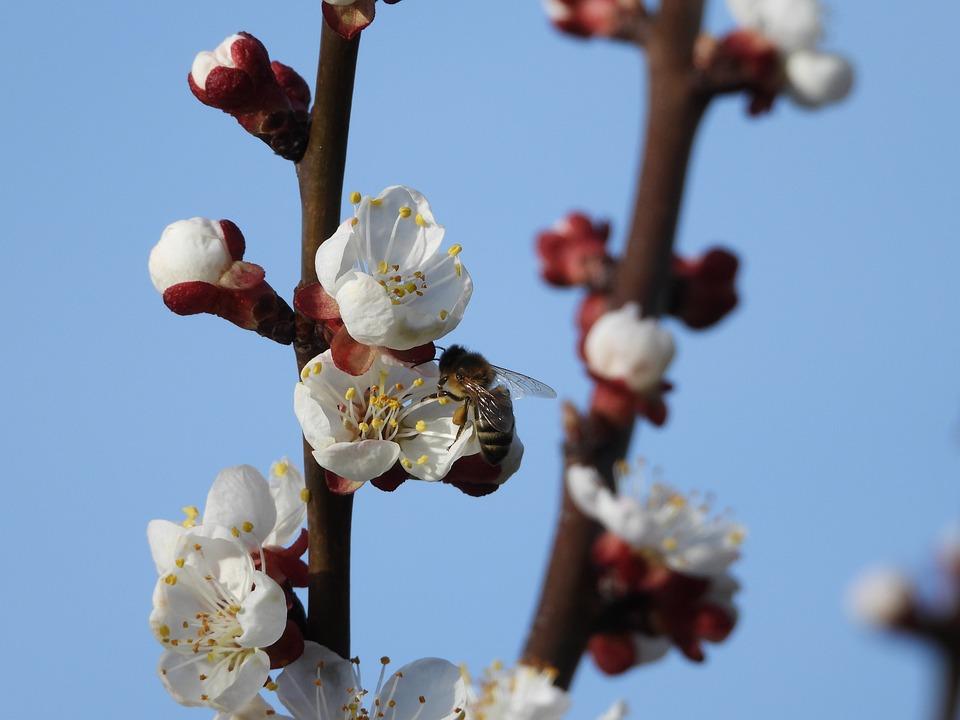 Sprig, Fruit Tree, Apricot, Flowering, Spring, Bee