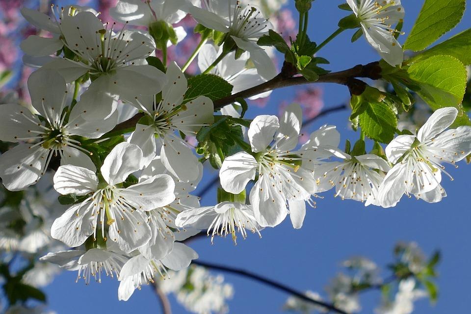 Cherry Blossom, Cherry, Blossom, Tree, Fruit, Flower