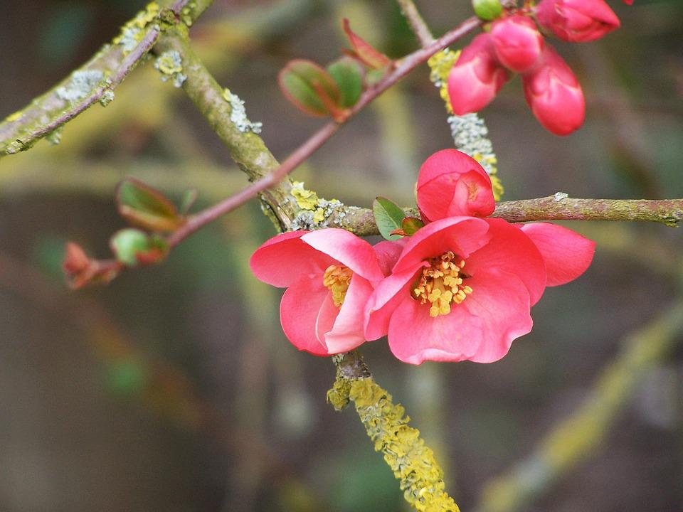 Flowering Tree, Spring, Bud, Flower, Fruit Tree, Cherry