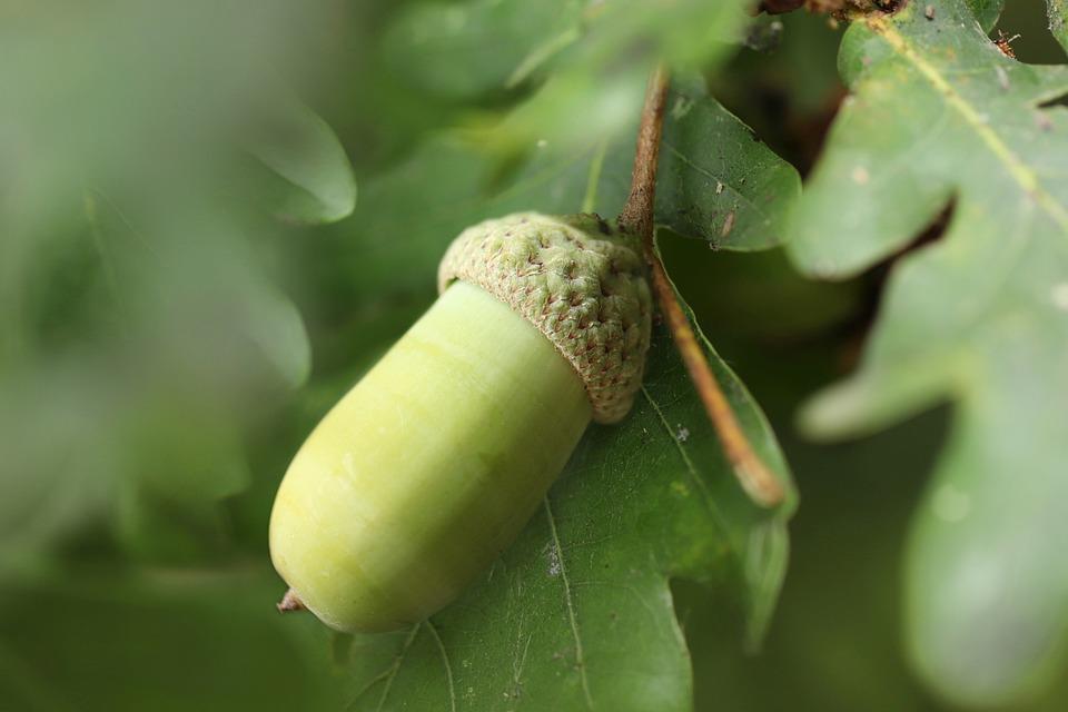 Oak, Acorn, Tree Fruit, Tree, Autumn, Leaf, Fruit