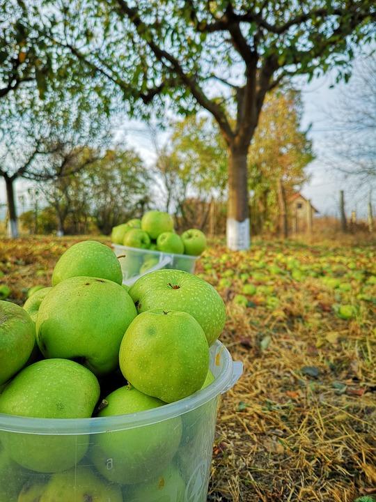 Apple, Fruit, Green, Tree, Autumn
