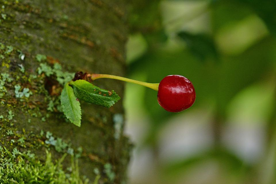 Fruit, Cherry, Tree, Ripe, Red, Fresh, Healthy