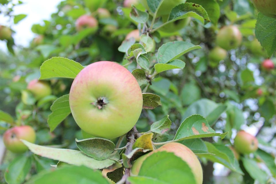 Apple, Sad, Garden, Plant, Summer, Fruit, Tree, Foliage