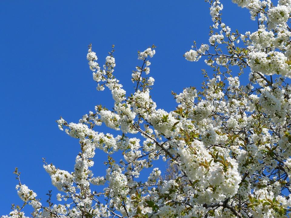 Flowers, Tree, Fruit Tree, White, Spring, Garden