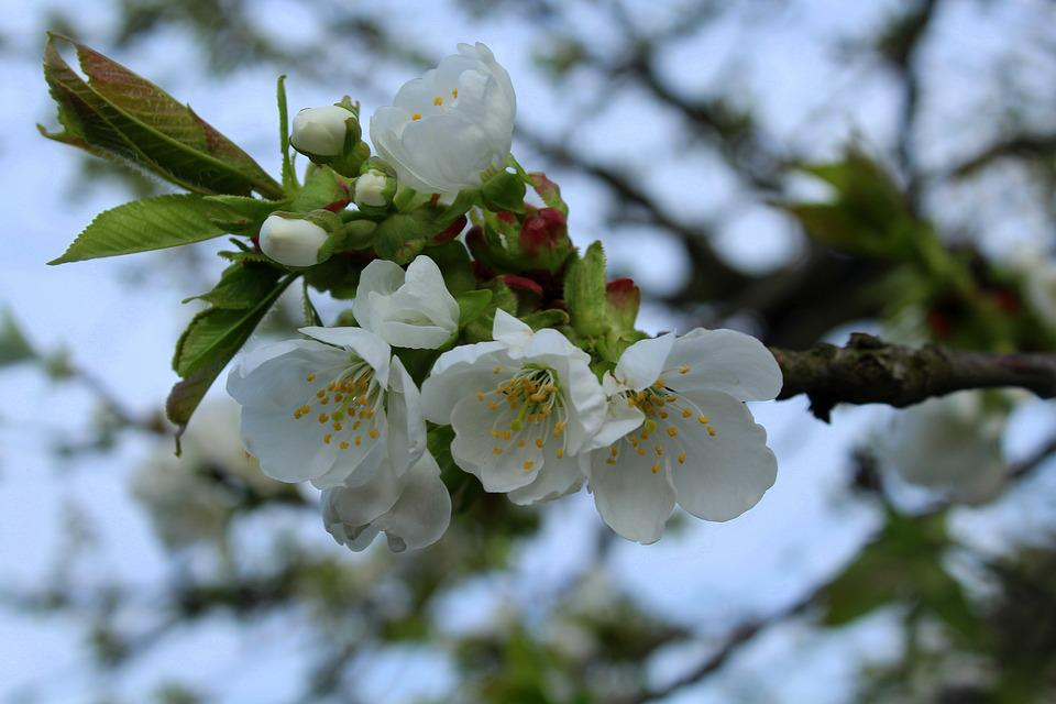 Cherry, Sad, Spring, Flowering Trees, Fruit Trees
