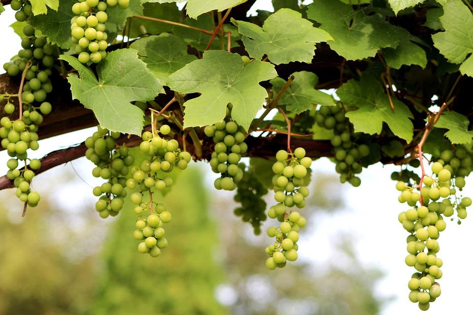 Grape, Vitis Vinifera, Climber, Fruit, Summer, Vine