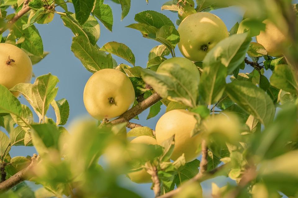 Apple, Yellow, Fruit, Tree, Apple Tree, Ripe, Sweet