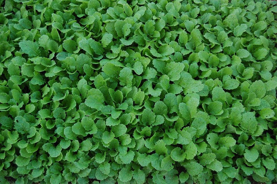 Turnip Greens, Vegetables, Food, Fruits And Vegetables