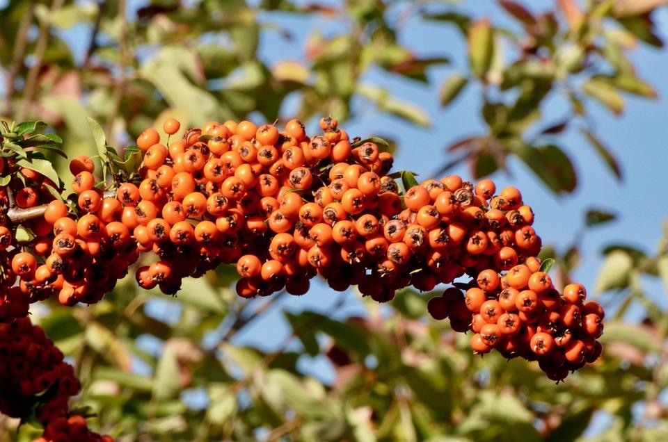 Hawthorn Berries, Hawthorn, Berries, Fruits, Garden
