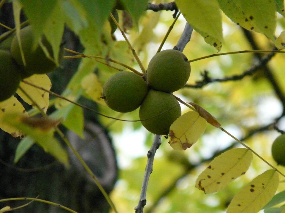 Fruits, Black Walnut, Tree, Park Tree, Juglans Nigra