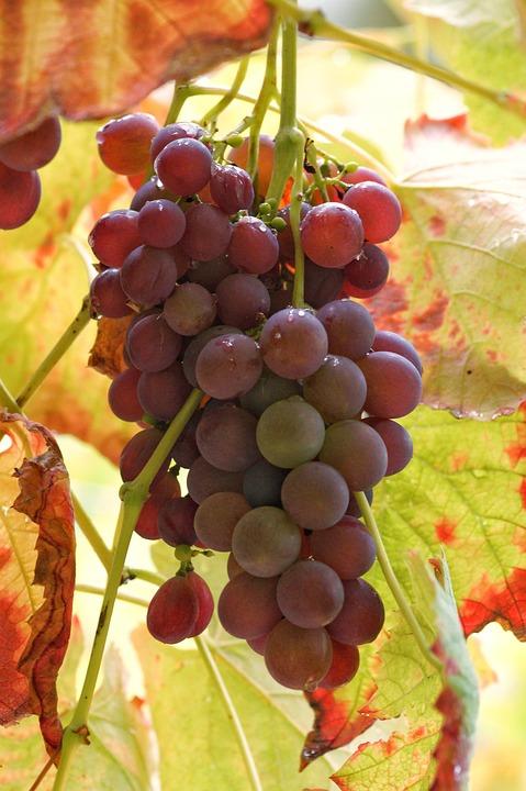 Blue Grapes, Grapes, Fruits, Autumn, Fall Foliage, Ripe