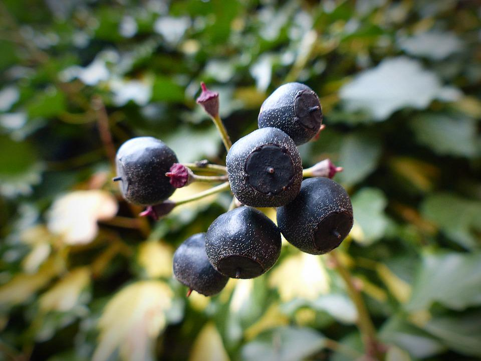 Ivy, Berries, Plant, Ivy Fruit, Fruits, Toxic, Climber