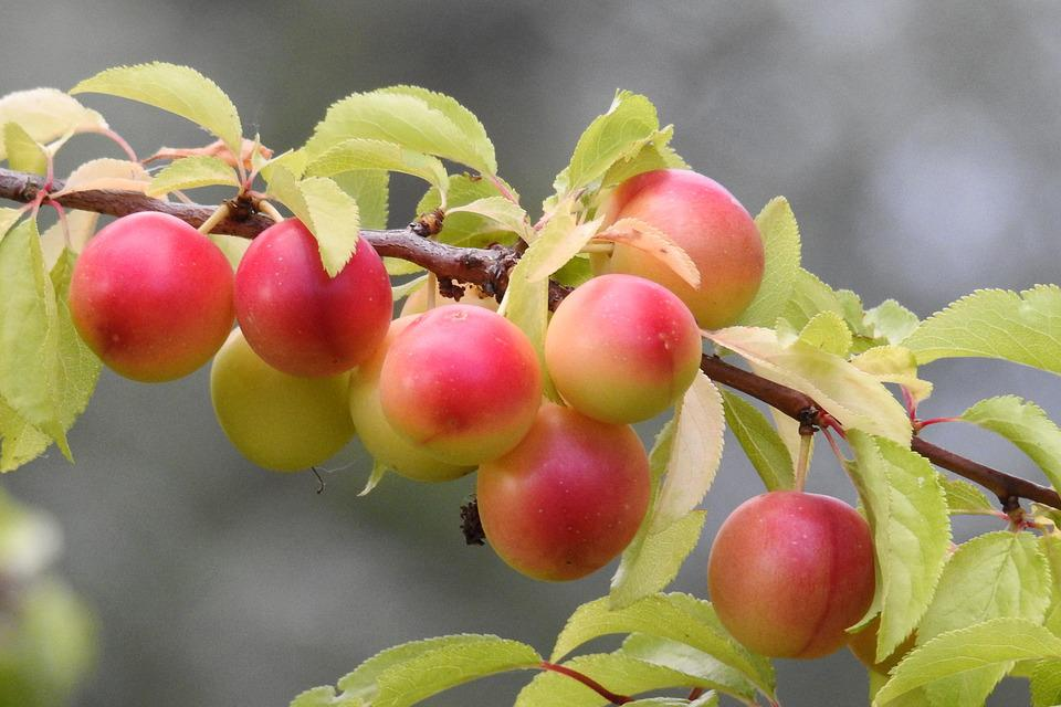 Cherry Plum, Yellow Plums, Fruit Tree, Branch, Fruits