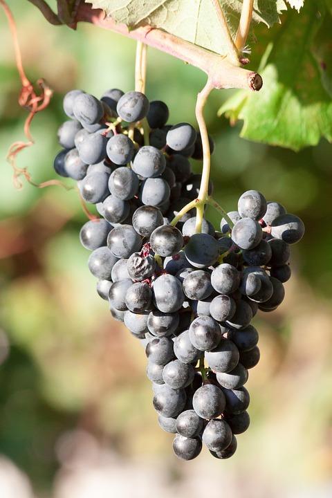 Grapes, Wine, Grape, Blue, Leaf, Fruit, Fruits