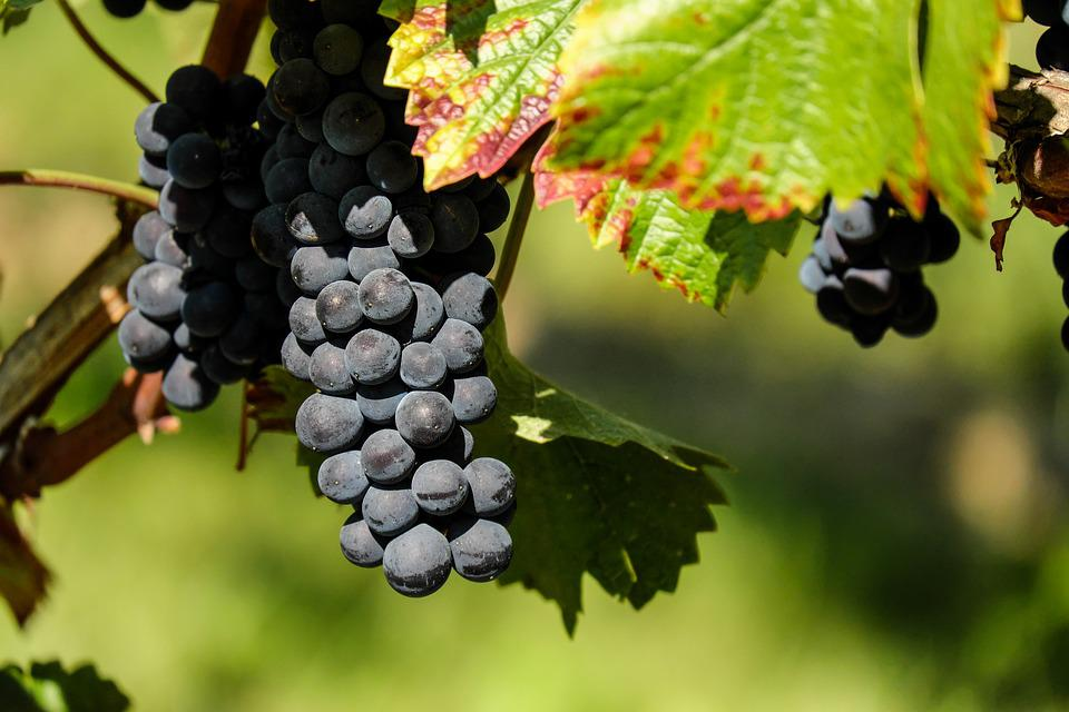 Grapes, Fruit, Fruits, Blue, Winegrowing, Grapevine