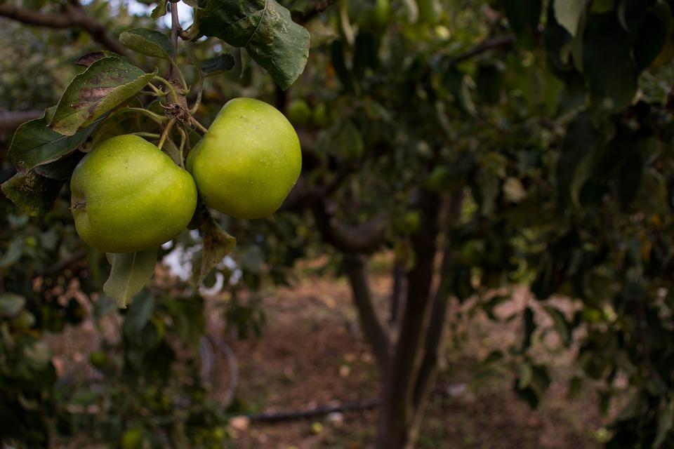 Apple Tree, Apples, Fruits, Harvest, Orchard, Mature