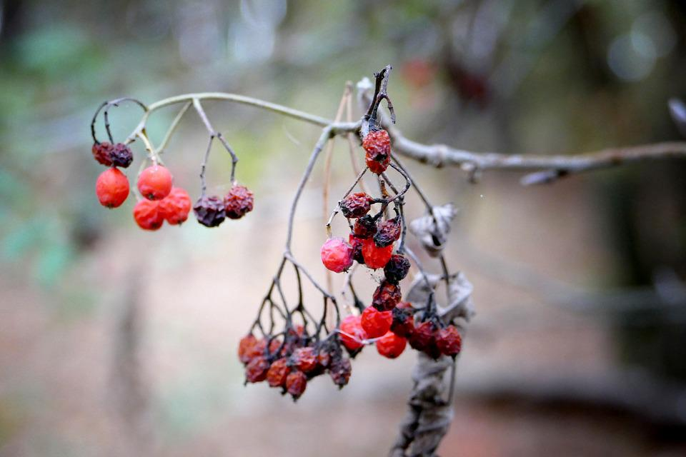 Berry, Forest, Fruits, Nature