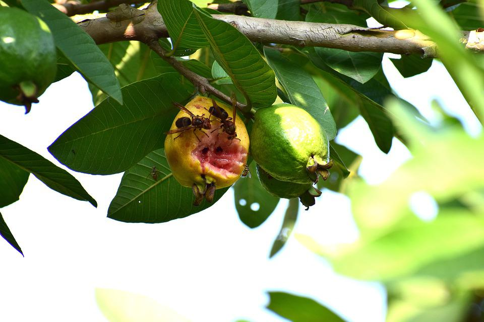 Insects, Eating, Guava, Fruits, Nature, Animal, Green