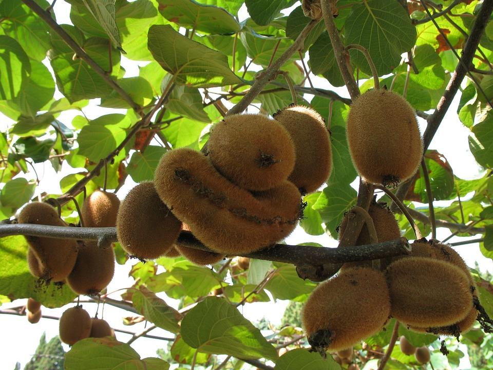Kiwi, Fruits, Nature, Green, Agriculture, Plant, Farm