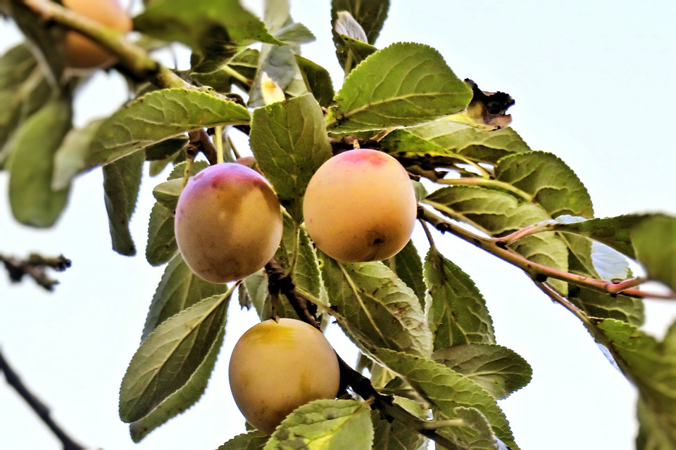 Yellow Plums, Fruits, Mirabelle Plum Tree, Old, Branch