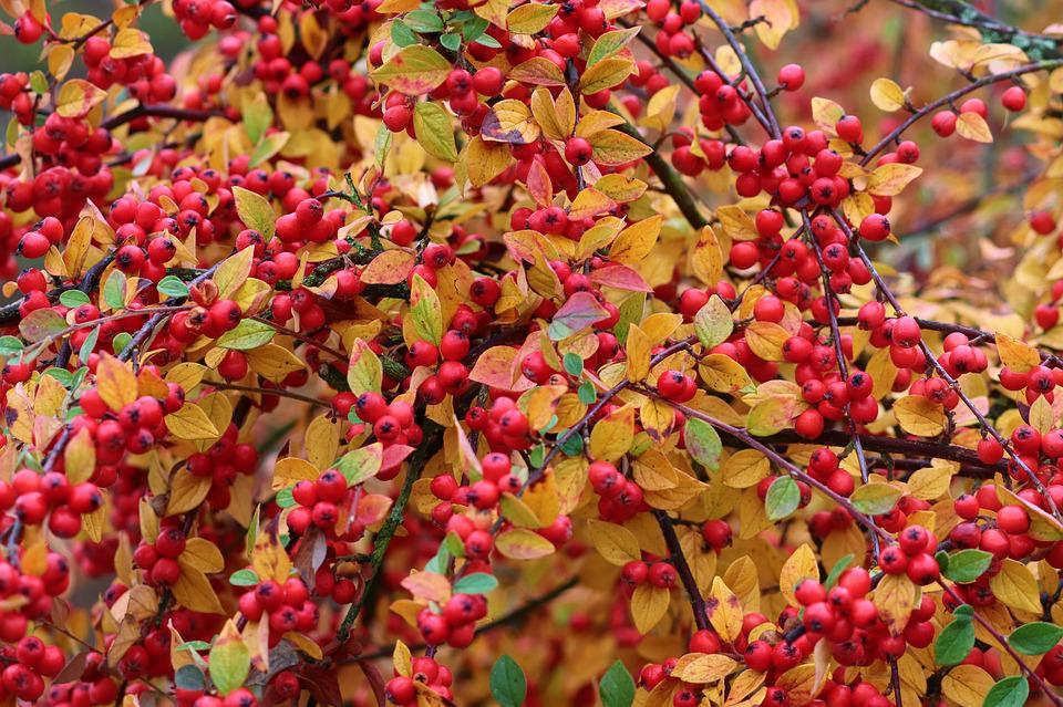 Firethorn, Berries, Red, Pyracantha, Bush, Fruits