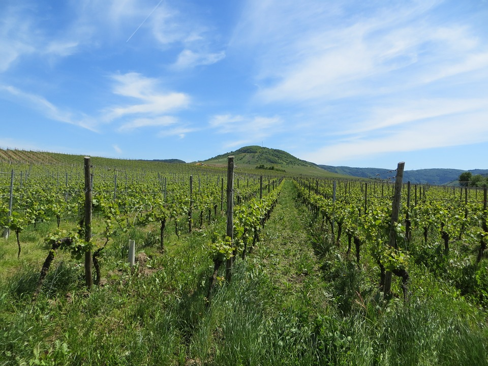 Vineyards, Grapes, Read, Vines, Fruits, Perennials