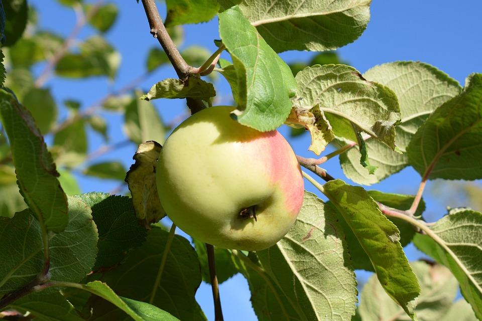 Free photo Fruits Tree Apple Garden Fruit Green Autumn - Max Pixel