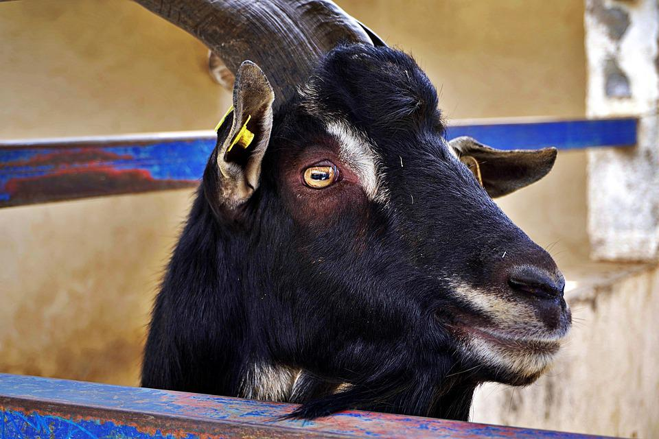 Goat, Libertad0, Isolated, Frustration, Waiting For You