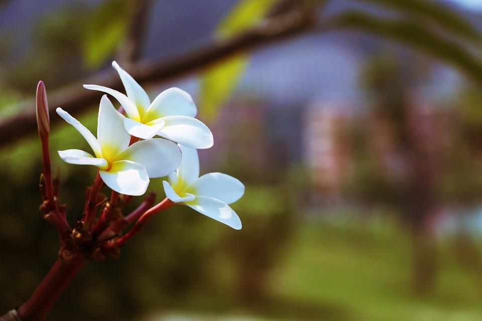 Flower, Plumeria, Fry, Yellow Flower