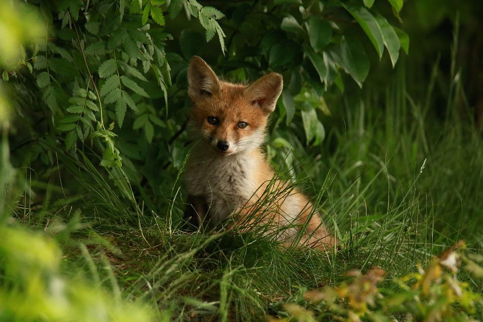 Fuchs, Puppy, Abendstimmung, Nature, Red Head, Freedom