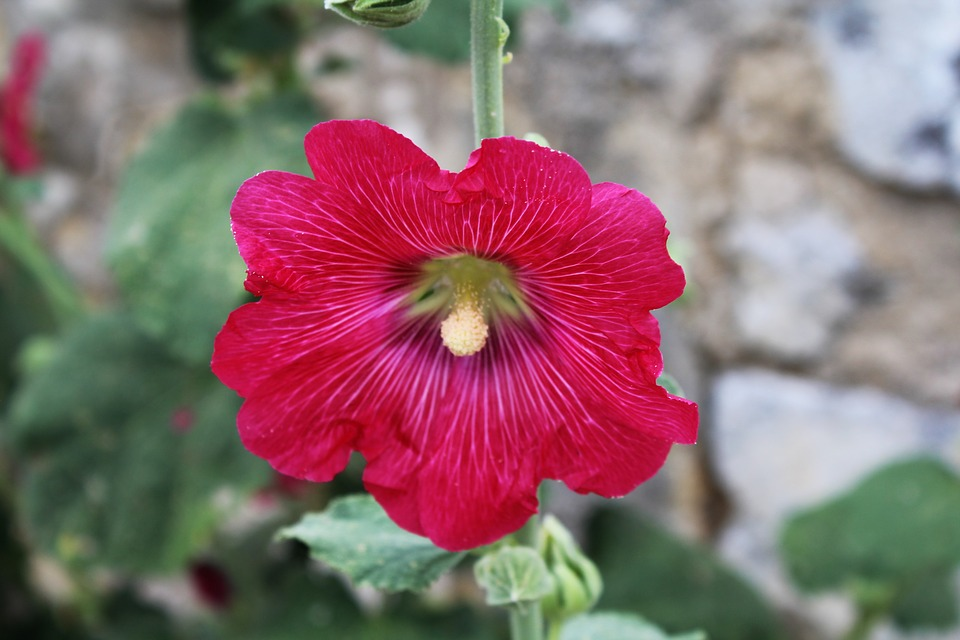 Hollyhock, Passerose, Fuchsia, Macro, Flower