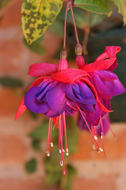 Fuchsia, Flowers, Pink, Purple, Floral, Spring