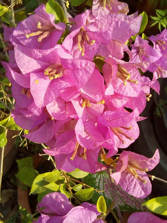 Flowers, Bougainvillea, Fueng Fah, Bush