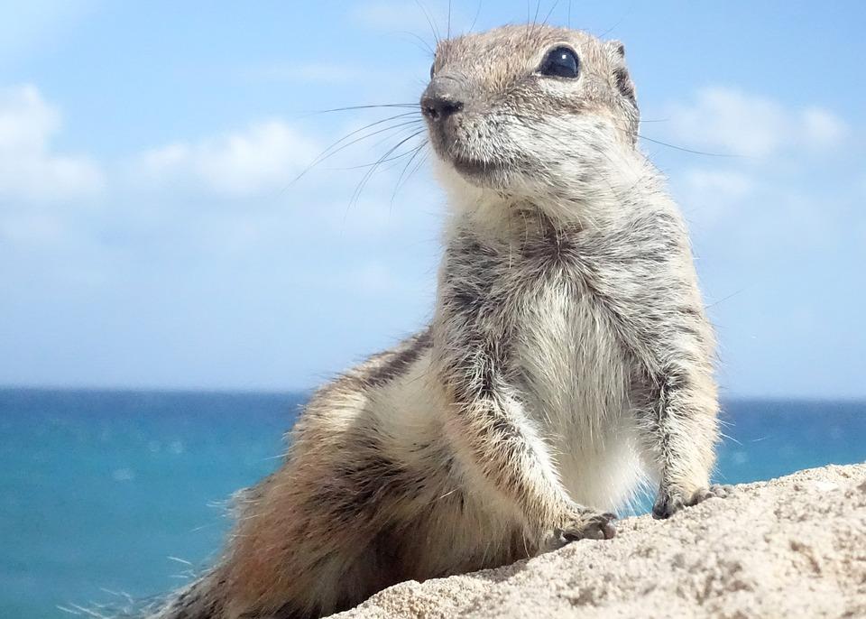 Chipmunk, Fuerteventura, Rodents, Croissant, Nager