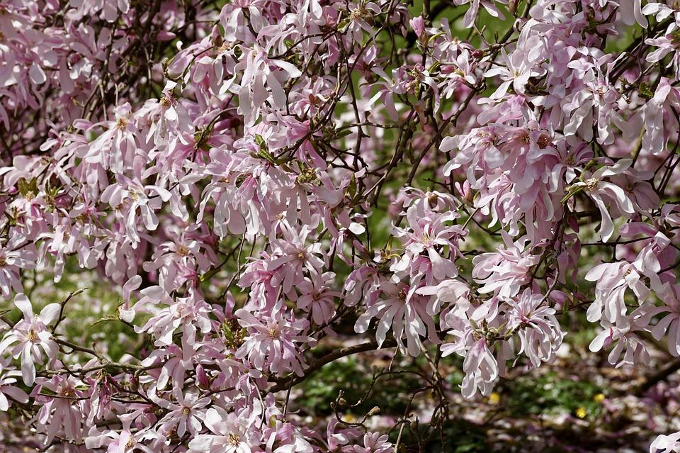 Free Photo Full Bloom Magnolia Tree Magnolia Pink Flowers Max Pixel