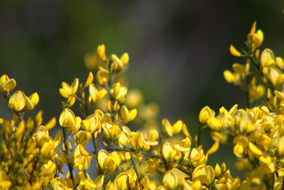 Free photo full bloom shrubs yellow flowers bush minor max pixel flowers yellow bush shrubs minor full bloom mightylinksfo