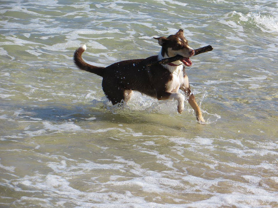 Dog, Sea, Pet, Fun, Retriever, Shore, Water, Canine