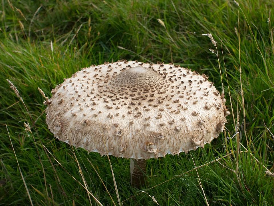Mushroom, Parasol, Fungus, Fungi, Cap