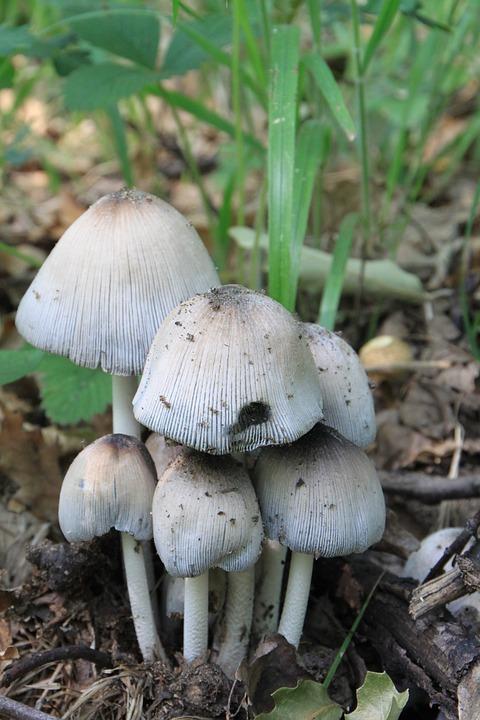 Cap, Coprinus, Fungus, Mica, Micaceus, Psathyrellaceae