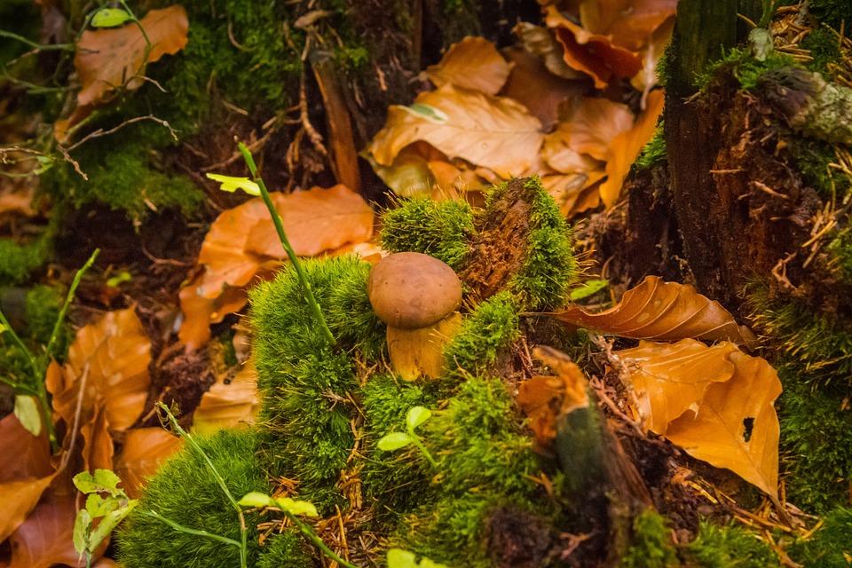 Foliage, Autumn, Nature, Fungus, Boletus, Moss