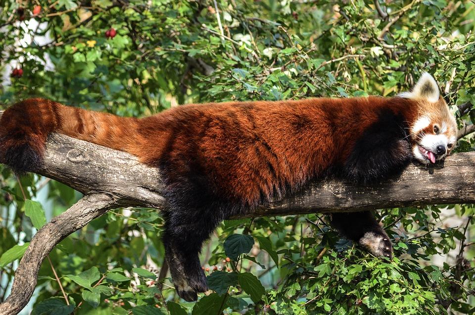 Panda, Funny, Depend, Little Bear, China, Asia, Mammal